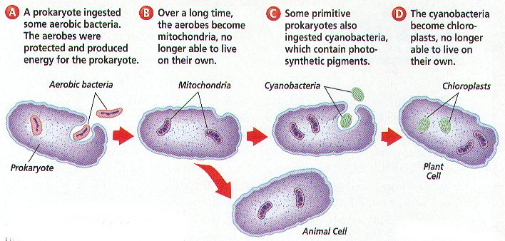endosymbiosis hypothesis Endosymbiosis is an idea that provided a remarkable amount of  sary corollary  to the endosymbiont hypothesis because organelle genomes.