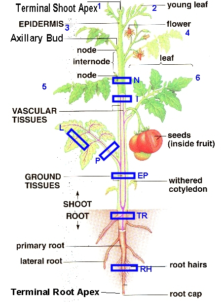 Tomatodiagramg as indicated in this diagram ccuart