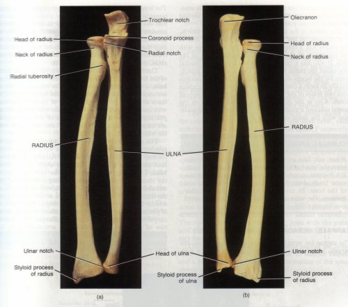 Features that are for muscle Labeled Radius And Ulna