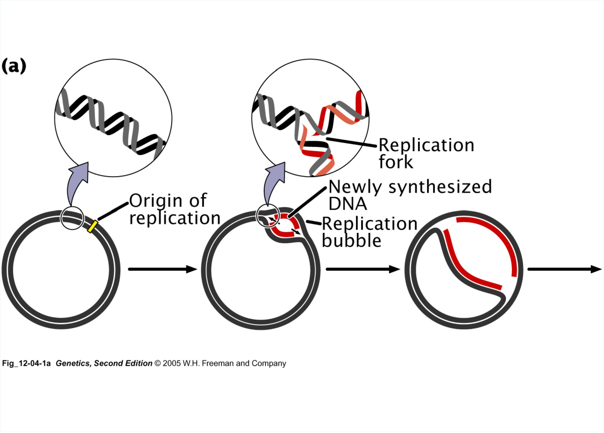 Replication Dna