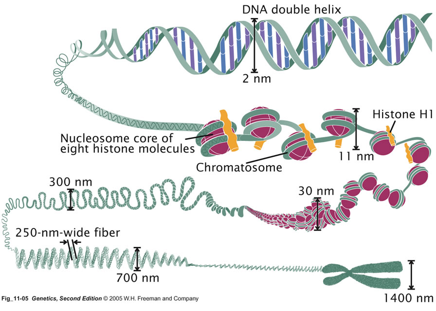 relationship between nucleosomes and histones are proteins