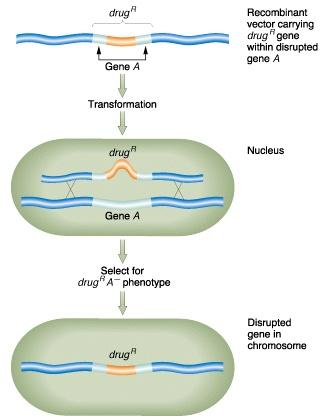knockout gene